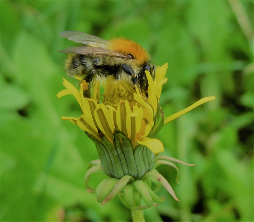 Bee foraging on a dandelion